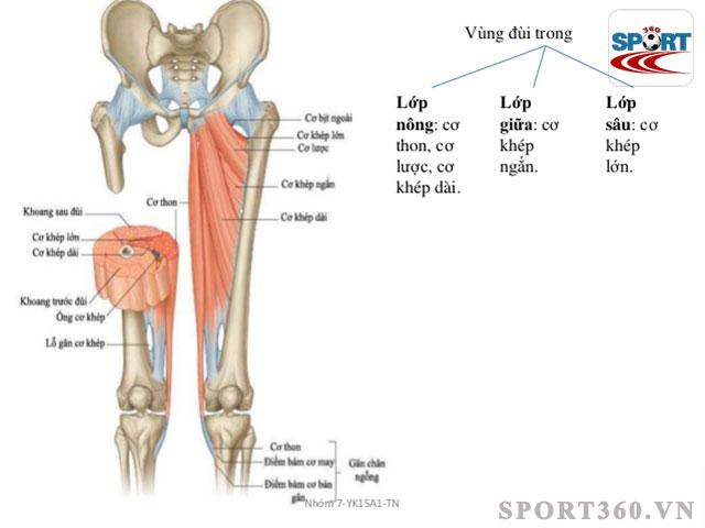 Vùng đùi gồm cơ và lớp mỡ cứng khó giảm