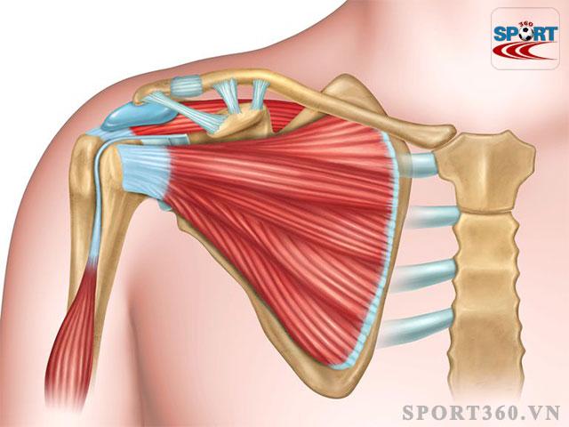 Nhóm cơ vai - Shoulder