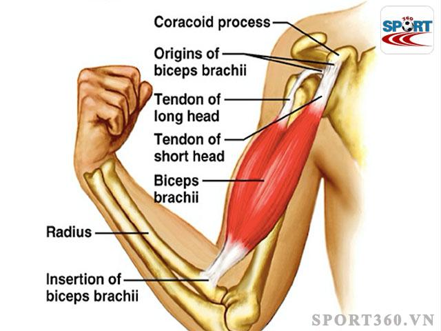 Nhóm cơ tay trước - Biceps