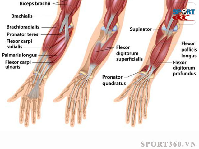 Cơ cẳng tay - Forearms