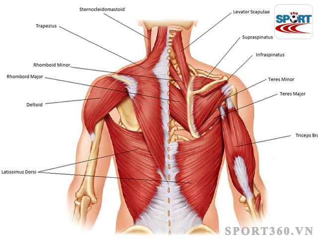 Cơ lưng thuộc nhóm cơ quan trọng cần lưu ý khi luyện tập