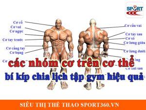 Các nhóm cơ trên cơ thể và bí kíp chia lịch tập gym hiệu quả