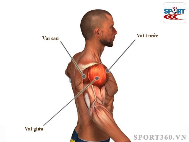 Cấu tạo cơ vai khi tập gym