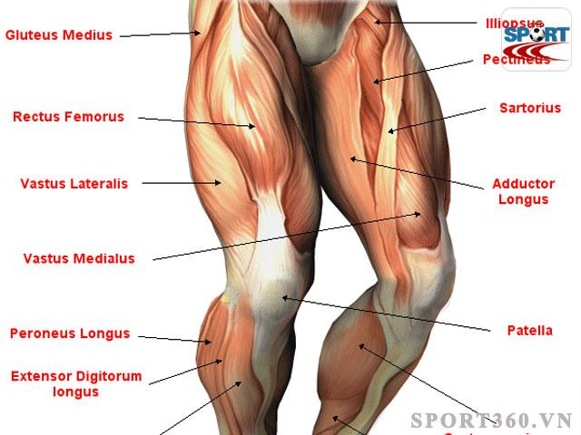 Cấu tạo cơ chân phần đùi