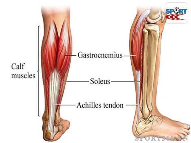 Cấu tạo cơ chân phần bắp chuối